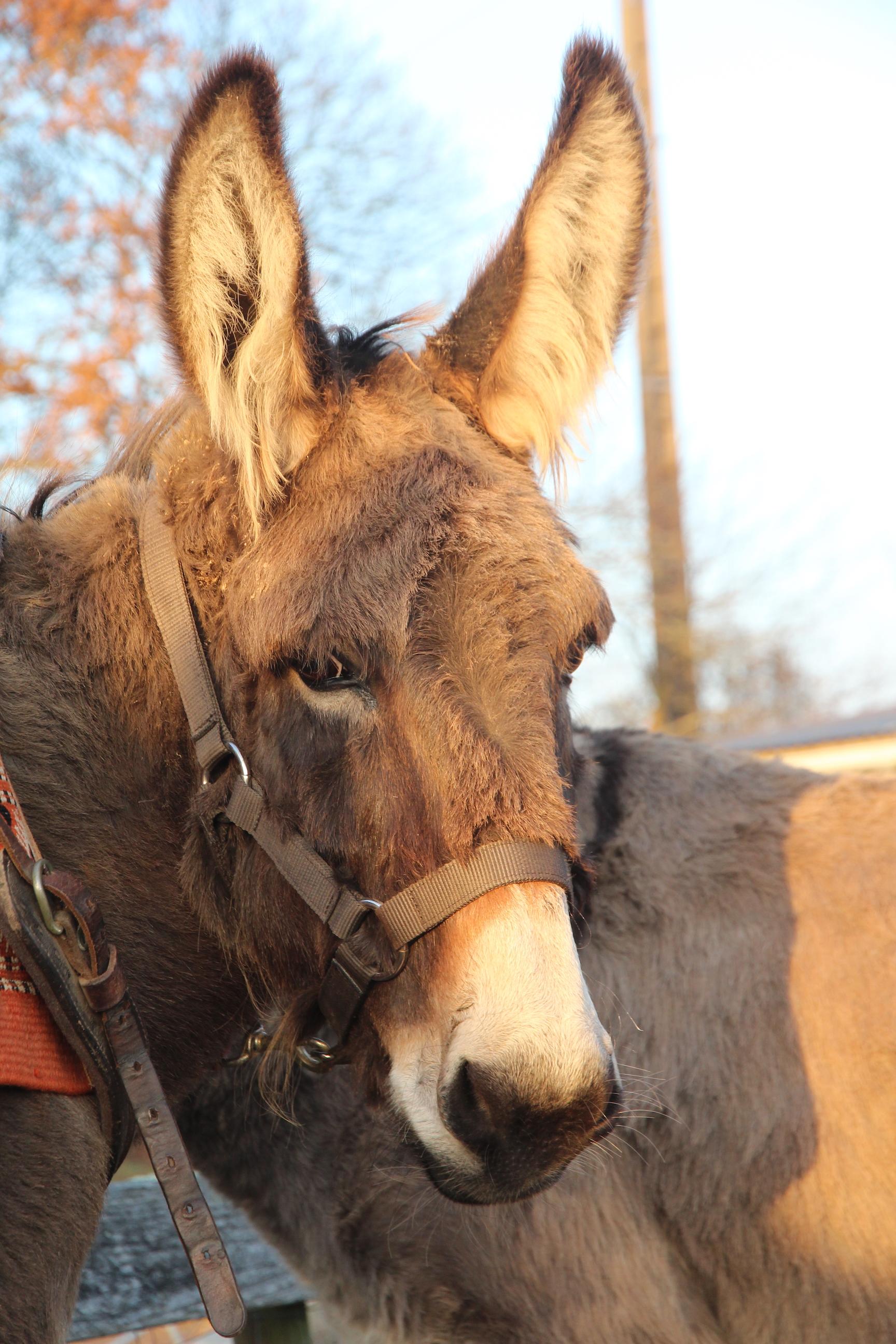 Portrait d'Alizée, dernière arrivée dans notre troupeau d'ânes
